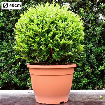 Buxus microphylla 'Faulkner' 40cm bol