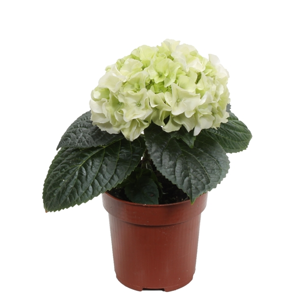 hydrangea solomia 39 snowball 39 h95wit153 floraxchange. Black Bedroom Furniture Sets. Home Design Ideas