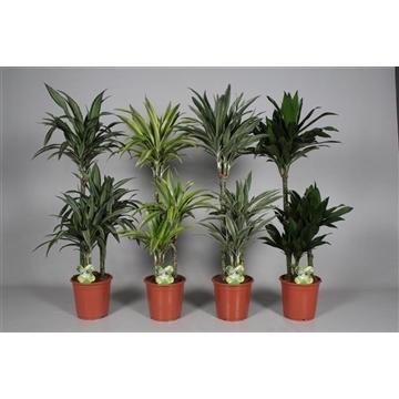 Drac Royal mix 60-30-15 cm stam 100% 3+ kop (4-5 soorten gemengd) (Decorum)