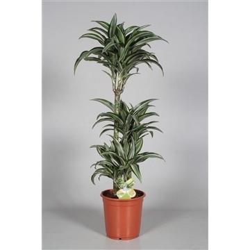 Drac Jade Jewel 60-30-15 cm stam 100% 3+ kop (RUSSIA)