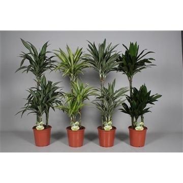 Drac Royal mix 60-30-15 cm stam 100% 3+ kop(5-6 soorten gemengd)(RUSSIA)