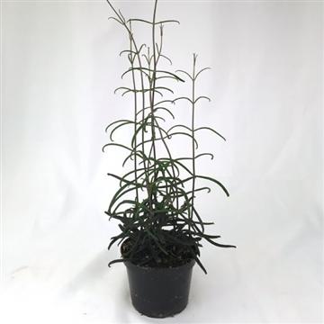 Bryophyllum Scandens