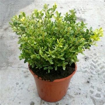 Buxus microphylla 'Rococo'