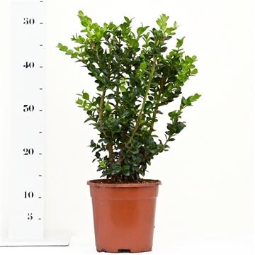Buxus sempervirens 'Rotundifolia' 30-40cm struik