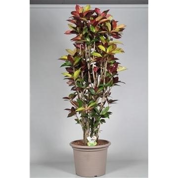 Croton Mrs. Iceton vertakt in deco pot 150-160 cm (Decorum)