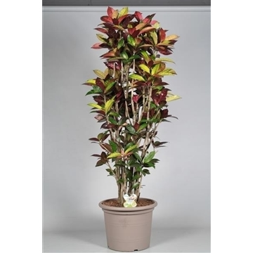Croton Mrs. Iceton vertakt in deco pot 150-160 cm (RUSSIA)