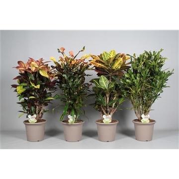 Croton vertakt mix in deco pot P25 (RUSSIA)