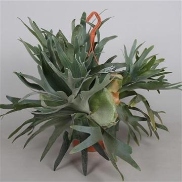 Platycerium 'alicorn' hangplant