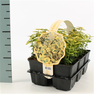 Euonymus fortunei 'Emerald 'n' Gold' 6-pack