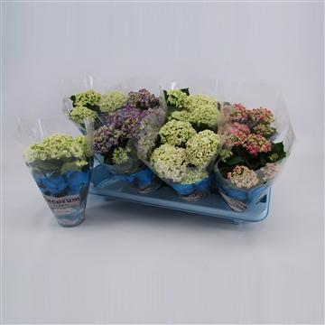 Hydrangea Macr. 10cm Curly Wurly 3-5 bloemen MIx