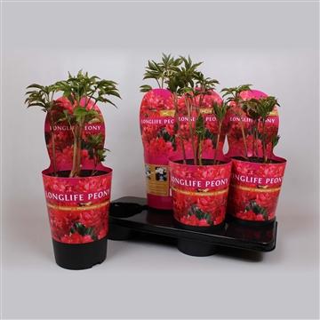 Paeonia 17CM rood Longlife
