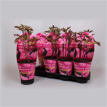 Paeonia 13CM roze Longlife