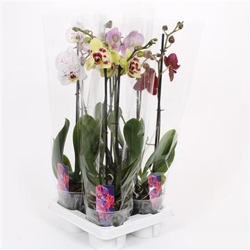 Phalaenopsis 2-Tak basic mix 50cm R1-2 5 gaats tray