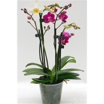 Phalaenopsis 9 cm Table Dance 'Cocktail Orchid' 3 stems