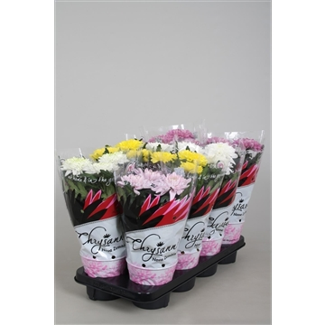 Chrysanthemum Chrysanne® 'Nova Zembla' mix