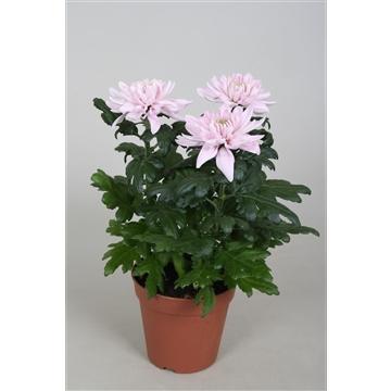 Chrysanthemum Chrysanne® 'Nova Zembla' Pink