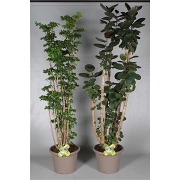 Polyscias vertakt in deco pot 2-3 soorten gemengd (Decorum)