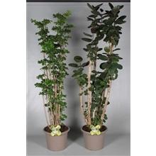 Polyscias vertakt in deco pot 2-3 soorten gemengd (RUSSIA)