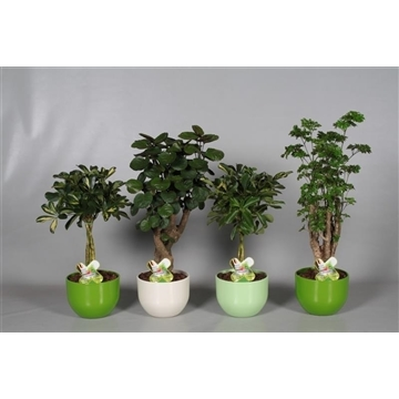 Collectie Allison - Polyscias en Schefflera mix in Lynn keramiek P19 (Decorum)