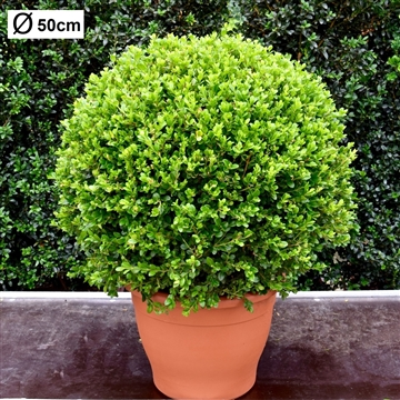 Buxus microphylla 'Faulkner' 50cm bol