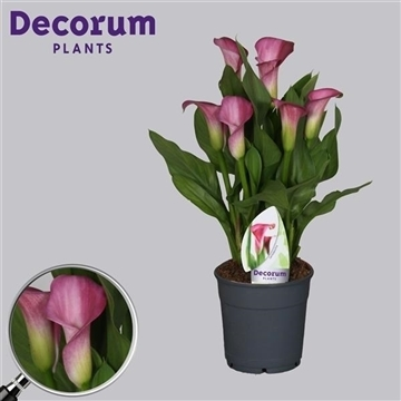 Zantedeschia Rubylite Rose 12cm