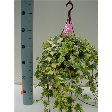 Hedera Assortiment HP18+30