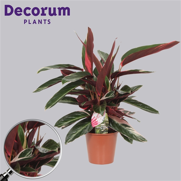 calathea triostar decorum tri19dec decorum. Black Bedroom Furniture Sets. Home Design Ideas