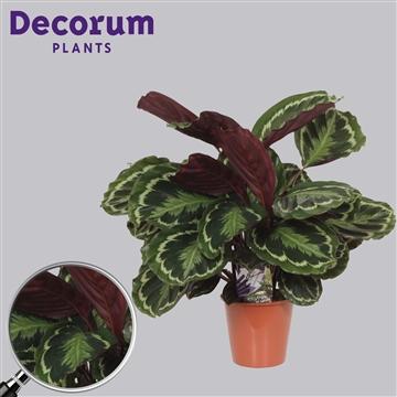 Calathea Medaillon Decorum