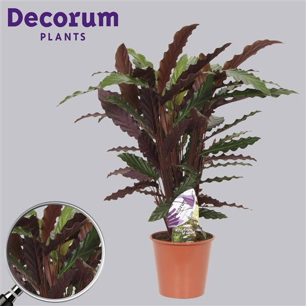 calathea wavestar decorum wav19dec decorum. Black Bedroom Furniture Sets. Home Design Ideas