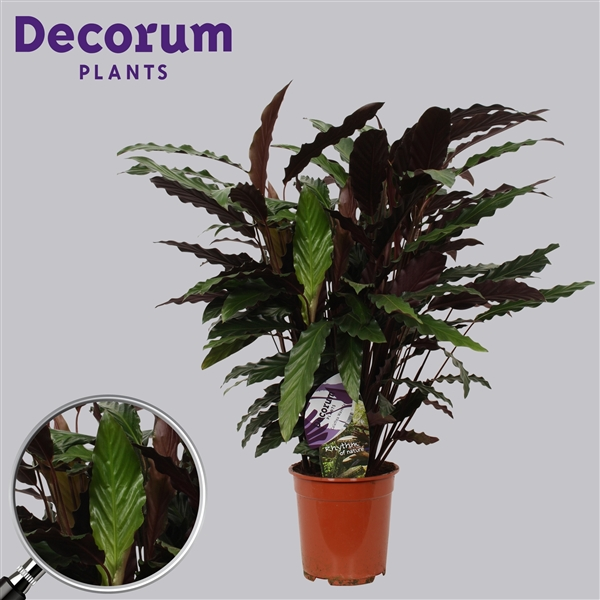 calathea wavestar decorum wave21dec decorum. Black Bedroom Furniture Sets. Home Design Ideas
