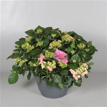 Hydrangea Pink in sierpot 20+ kop