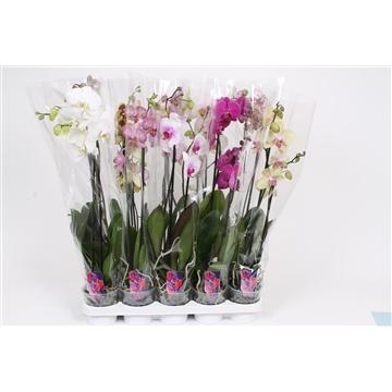 Phalaenopsis 2-Tak basic mix 70cm R2-3