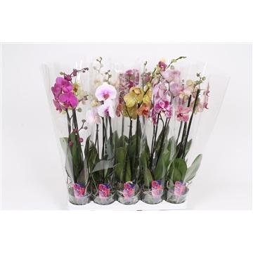 Phalaenopsis 2-Tak basic mix 60cm R2-3