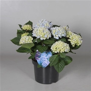 Hydrangea Ankong Baby Blue 7 - 12 kop