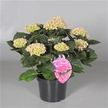 Hydrangea Ankong Baby Pink 7 - 12 kop