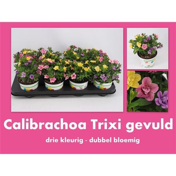 Calibrachoa trixi 39 petticoat 39 cadu 301 prg floraxchange - Calibrachoa trixi ...