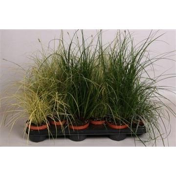 Carex gemengd
