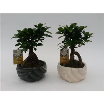 Ficus Ginseng 'Modern Hand' 17 cm