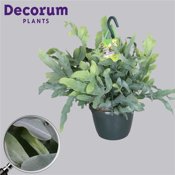 phlebodium aureum blue star d100947 floraxchange. Black Bedroom Furniture Sets. Home Design Ideas