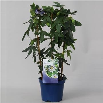 Passiflora Caerulea op rek