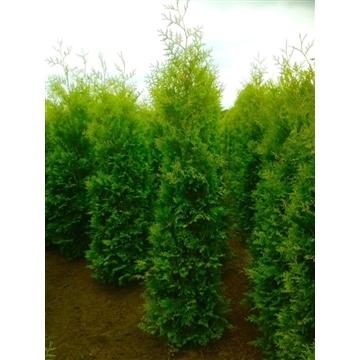 Thuja occidentalis 'Brabant', plantmaat 200-230