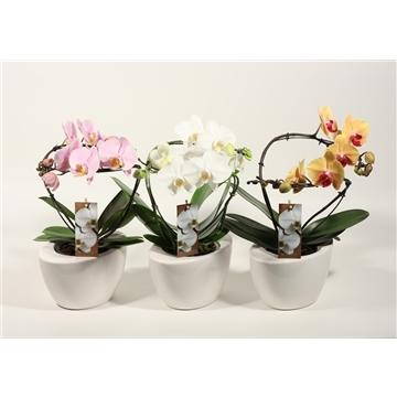 Phalaenopsis tango mix 2 tak in Dolomite Oval