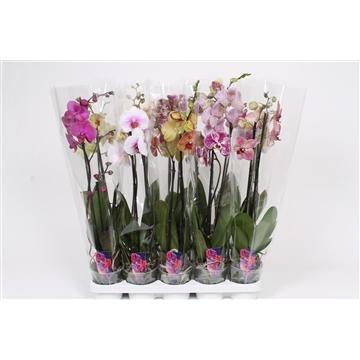 Phalaenopsis 2-Tak basic mix 60 cm R1-2
