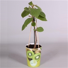 MoreGARDEN® Actinidia deliciosa Jenny Boskoop (zelfbestuiver) in potcover
