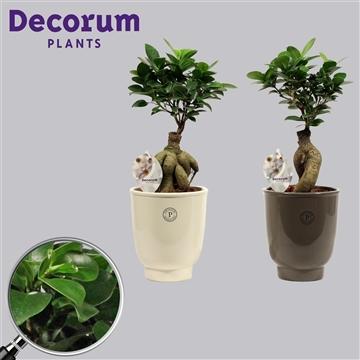 Ficus Microcarpa Ginseng geënt 12 cm in Anne Sophie (Decorum)