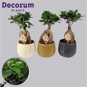 Ficus Microcarpa Ginseng geënt 12 cm in Hout keramiek (Decorum)