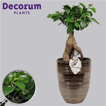 Ficus Microcarpa Ginseng geënt 14 cm in Orlando brons (Decorum)