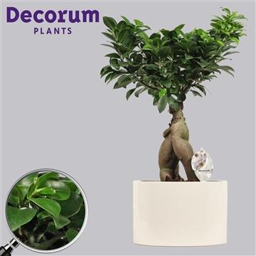 Ficus Microcarpa Ginseng geënt 19 cm in White (Decorum)