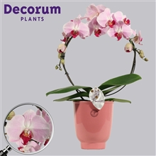 Phalaenopsis boog roze 2 tak in Anne Sophie (Decorum)
