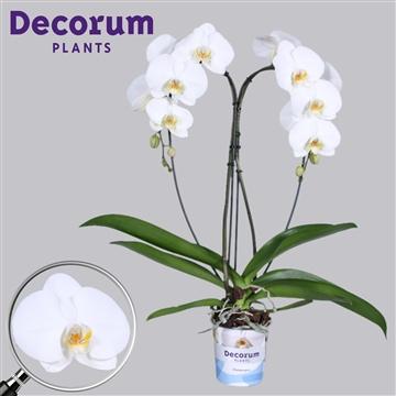 Phalaenopsis Tokyo Hart Cascade Decorum